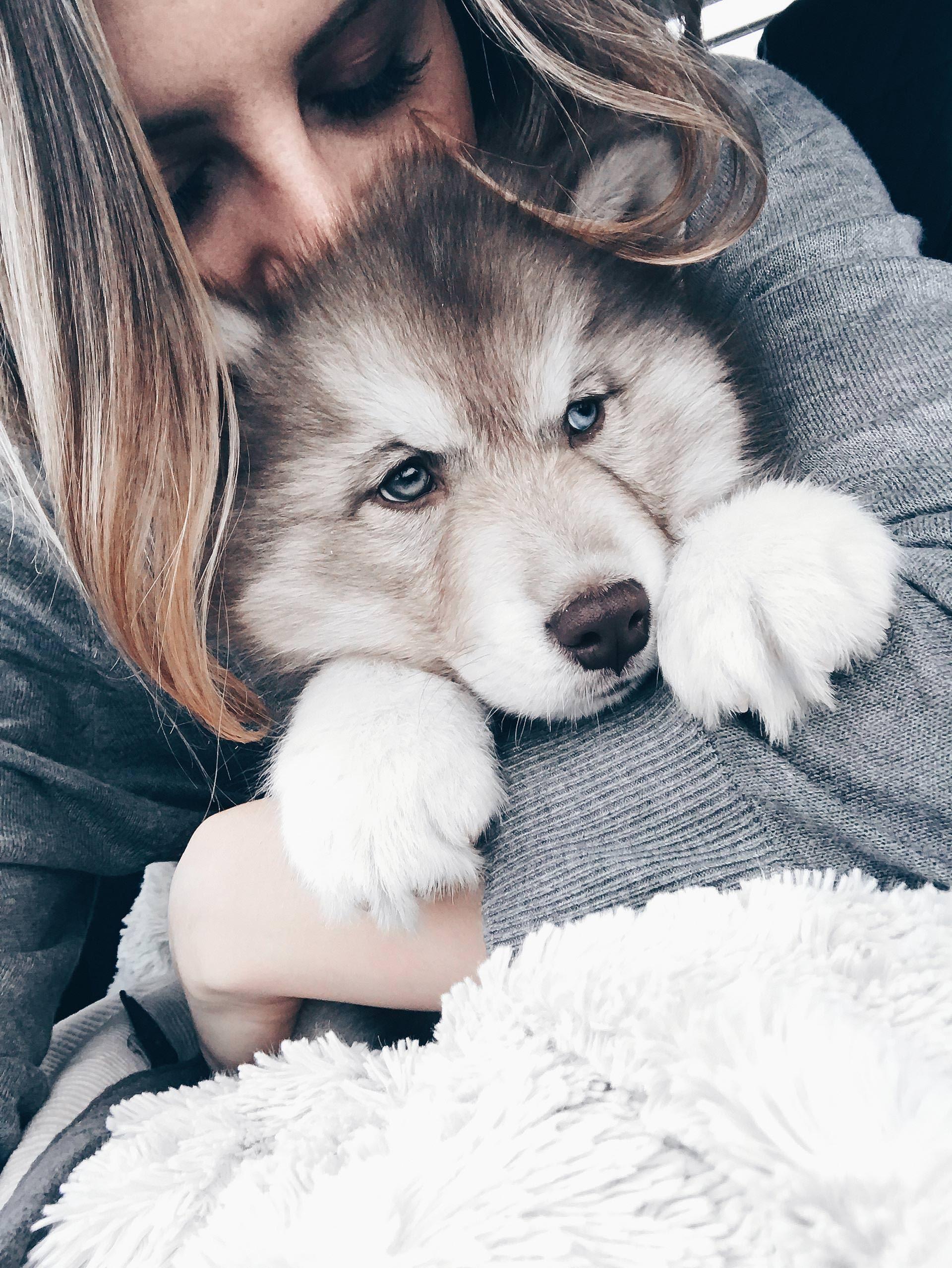 Hunde Facts zum sibirischen Husky Teddy, Alltag mit Hund