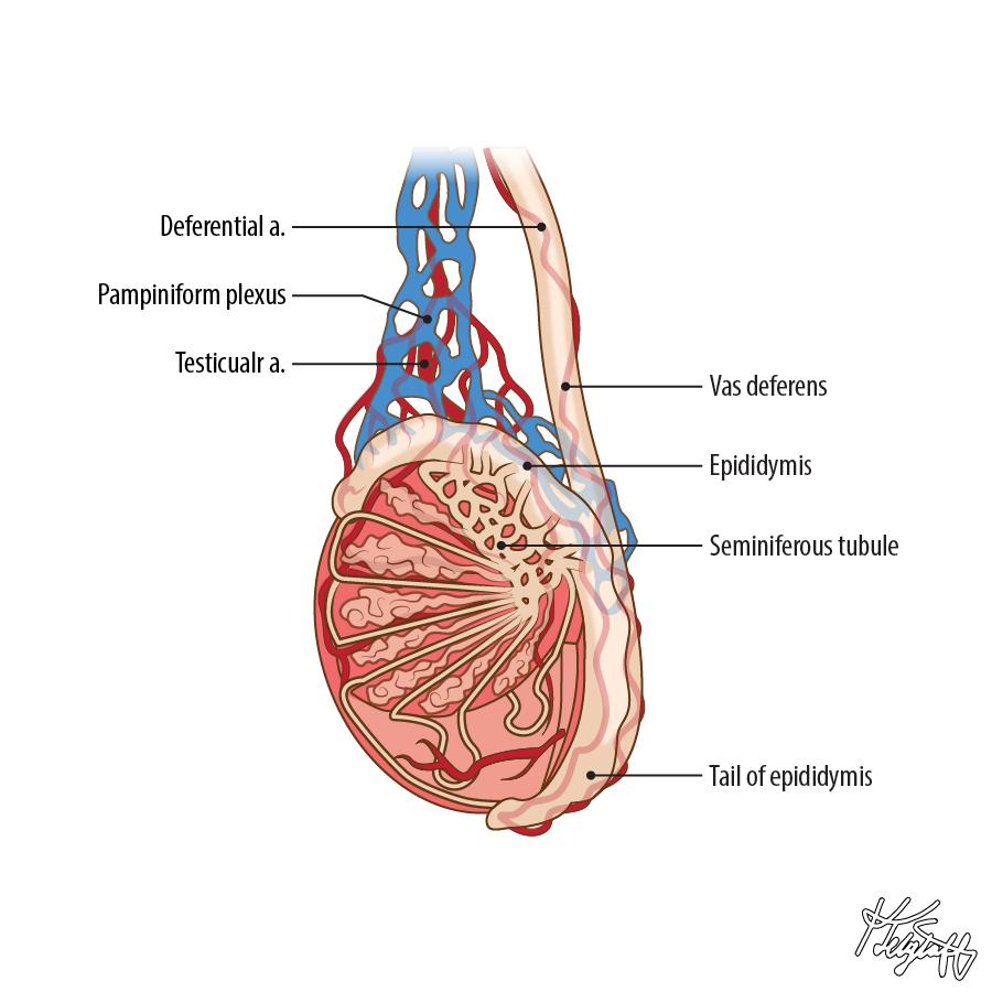 Tail Of Epididymis Anatomy Anatomy Note World Pinterest
