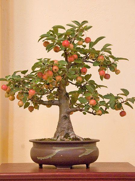 Bonsai Baum Bonsai Tree Apfel Apple Obst Fruchte Fruit
