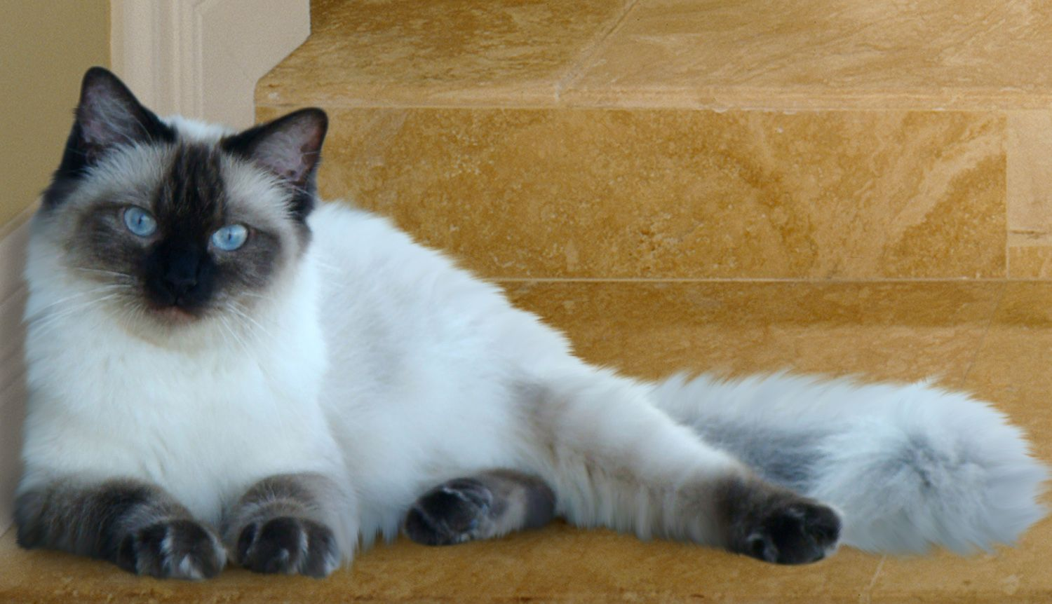 Seal Point Pointed Colourpoint Ragdoll Cat Ragdoll Cat Colors