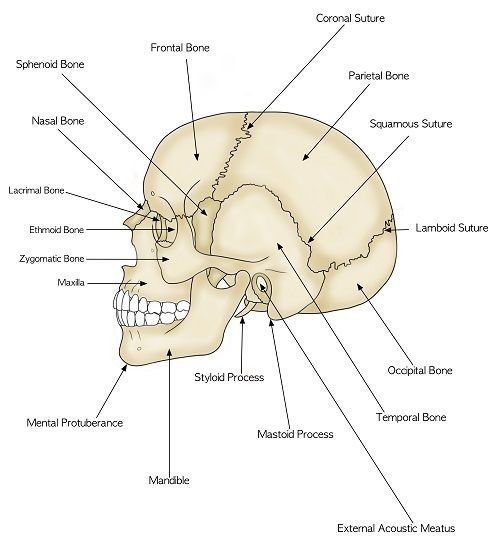 Parts Of The Human Skull Biology101 Study Guide Anatomy And