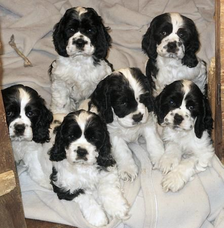 Zim Family Black And White Puppy Picture Hall Of Fame A Bunch Of Baby Olivers Miss My Bab Cocker Spaniel Puppies White Cocker Spaniel American Cocker Spaniel