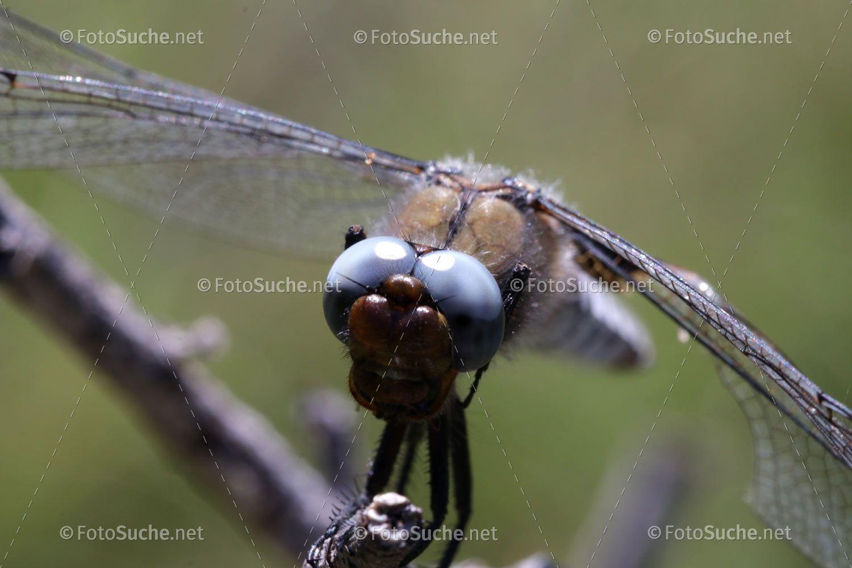 Libelle Fliegen Insekten Fliegende Insekten Insekten Fliegen