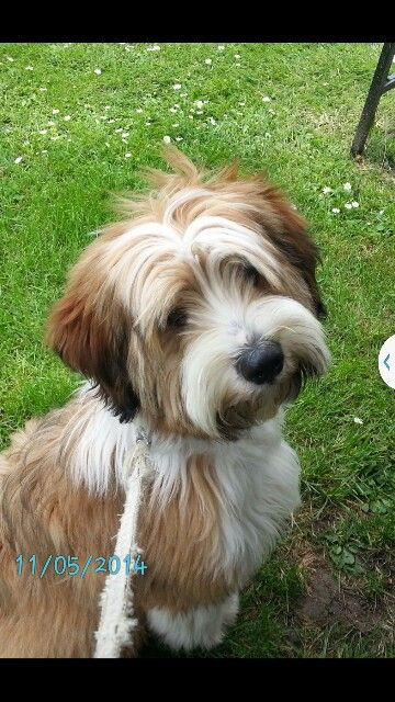 Dunlop Tibetan Terrier Hundehaarschnitte Lustige Hunde Hunde