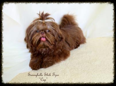 We Specialize In Gorgeous Akc Liver Chocolate Shih Tzu Puppies With Champion Shih Tzu Shih Tzu Puppy Baby Shih Tzu