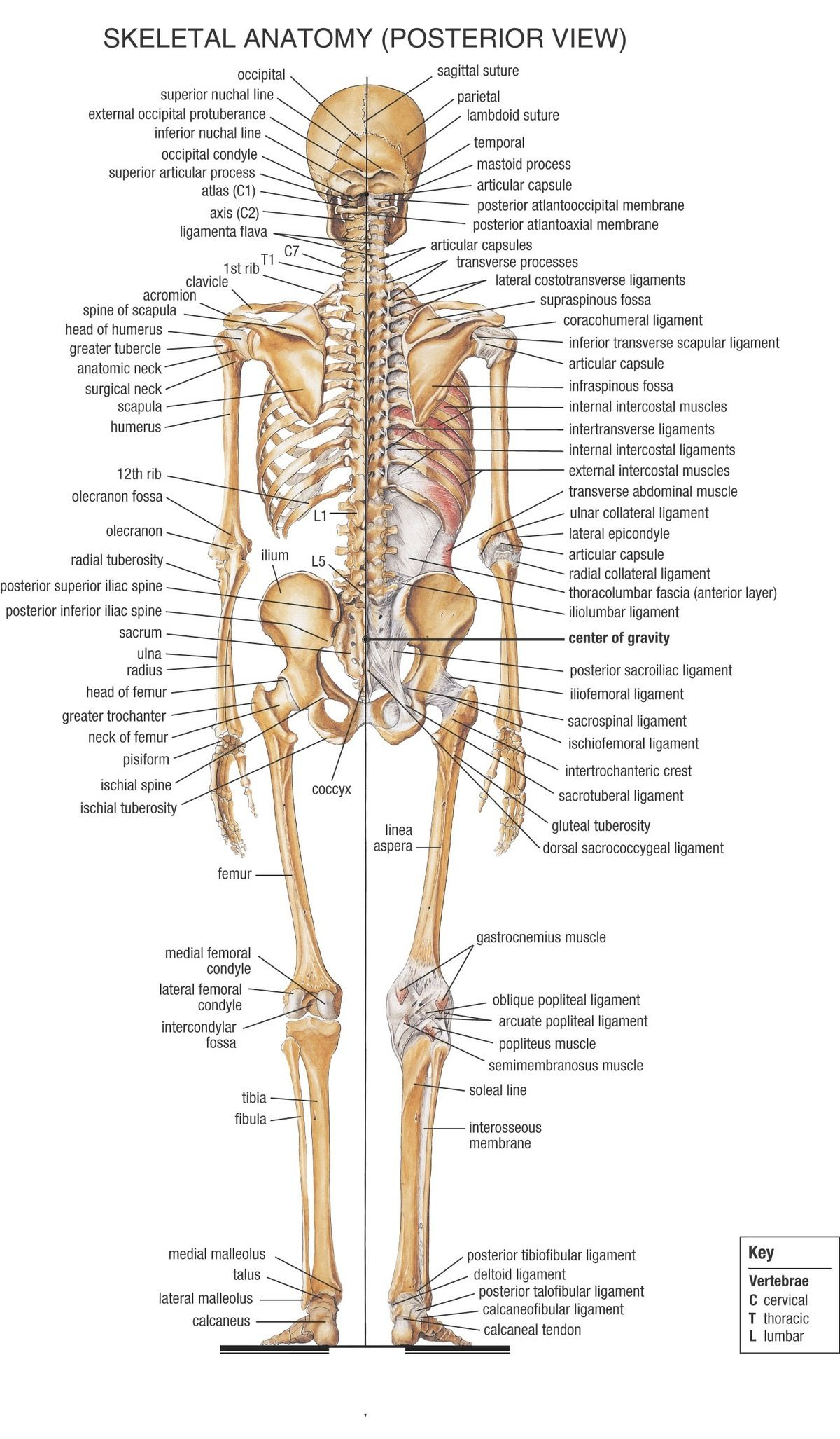 Skeletal Anatomy (Posterior) | EMS Study Material | Pinterest ...