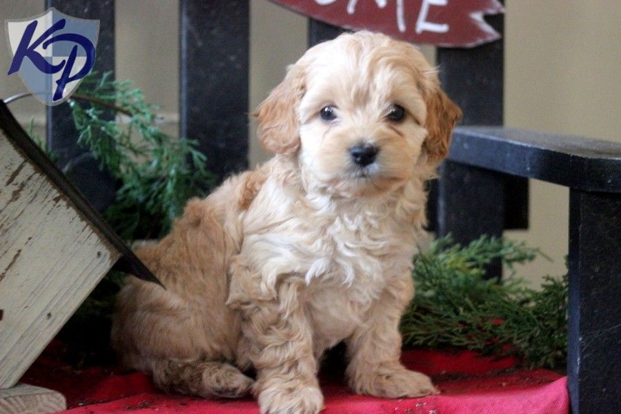 Puppy Finder Find Buy A Dog Today By Using Our Petfinder Poodle Mix Puppies Poodle Mix Puppy Finder
