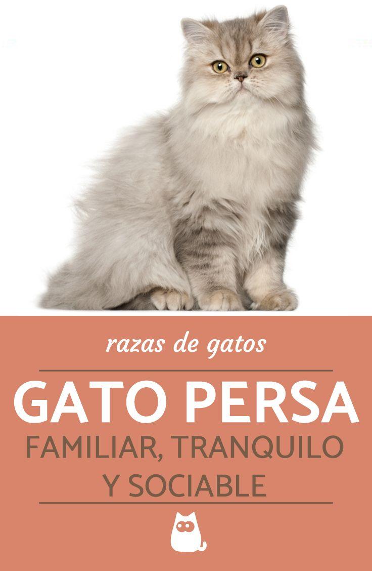 18 Ideas De Gatos Razas Gatos Razas De Gatos Mascotas