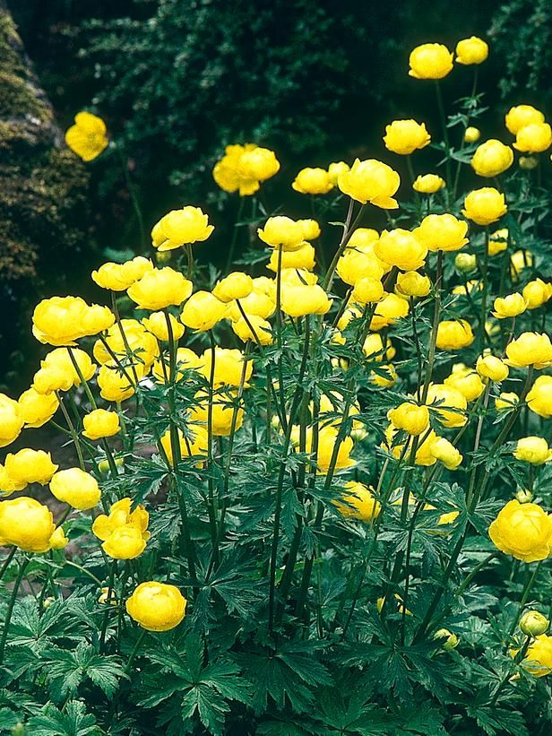 11 Striking Bog Plants on HGTV Globeflower - Ideal growing conditions: full sun to dappled shade. Mature size: 3 feet tall and 18 inches wide. Credit: DK - How to Grow Practically Everything © 2010 Dorling Kindersley Limited