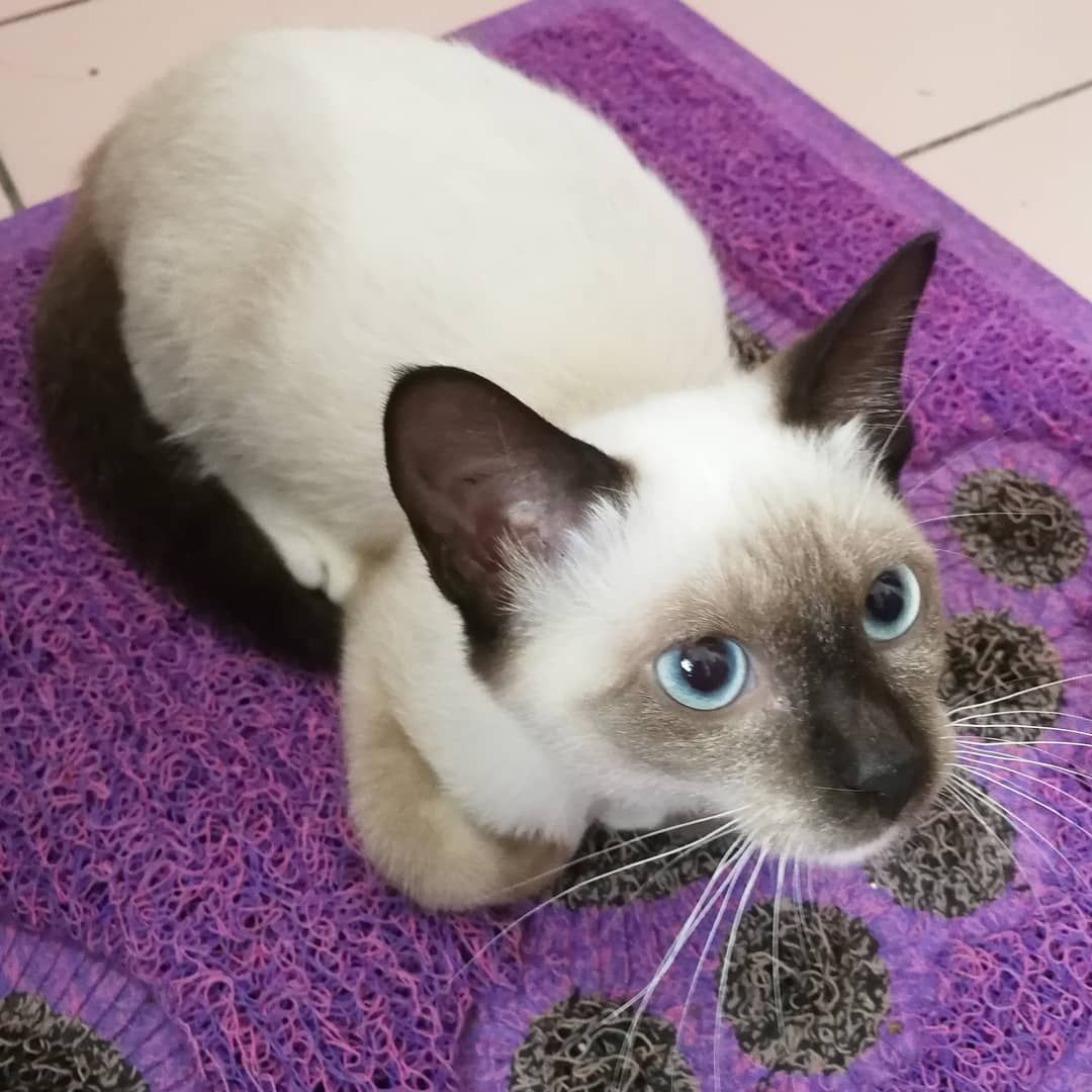 Toby The Cat Who Walked More Than 12 Miles To Go Back To His Family Who Rejected Him Siamese Cats Cats Cat Eye Discharge