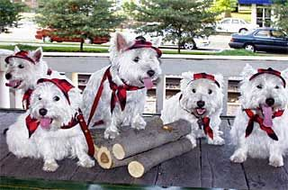 Wayzata Mn Westie Parade Angus Participated 3 Years Yes