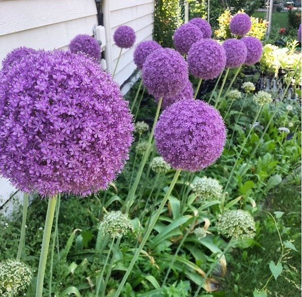 Allium Giganteum Giant Ornamental Onion Bulbs 4 5 Feet Tall Plants Ball Shaped Flowers Easy To Grow Erfly Friendly