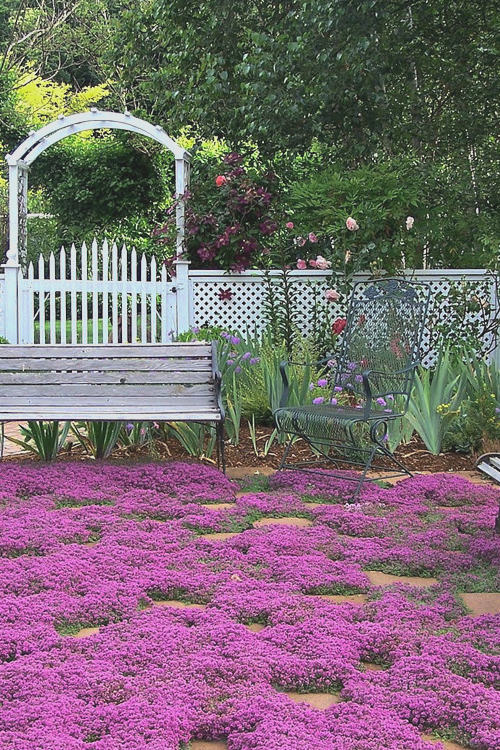 Buy Red Creeping Thyme Plants Free Shipping 10 Count Flat 4 Pots Thymus Praecox Coccineus For Sale Online In 2020 Red Creeping Thyme Creeping Thyme Thyme Plant