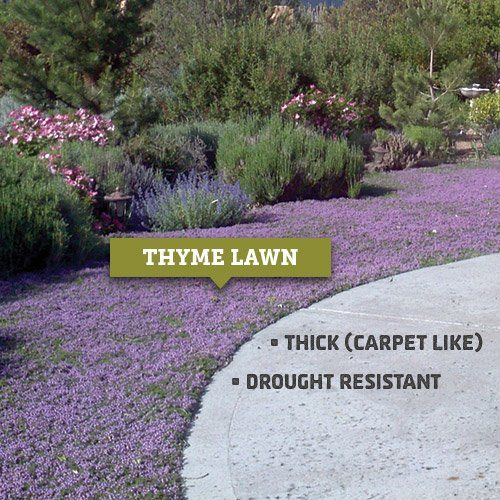 Growing A Thyme Lawn - Inspired Gardens | High Country Gardens