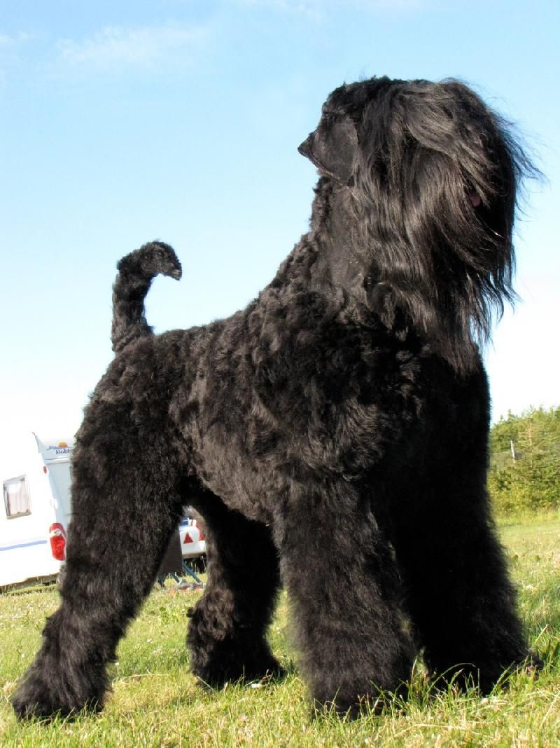 Black Russian Terrier Dog Dogs Puppy Blackrussianterrier Black Russian Terrier Russian Dog Breeds Terrier Dog Breeds