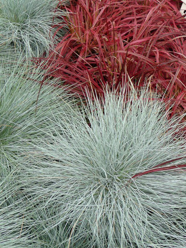 Festuca glauca 39 intense blue 39 et pennisetum setaceum for Planting schemes with grasses