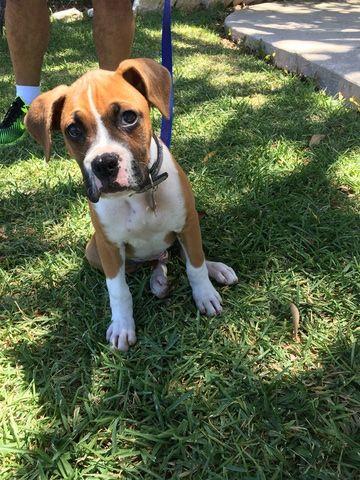 Boxer Puppy For Sale In San Antonio Tx Adn 38881 On Puppyfinder