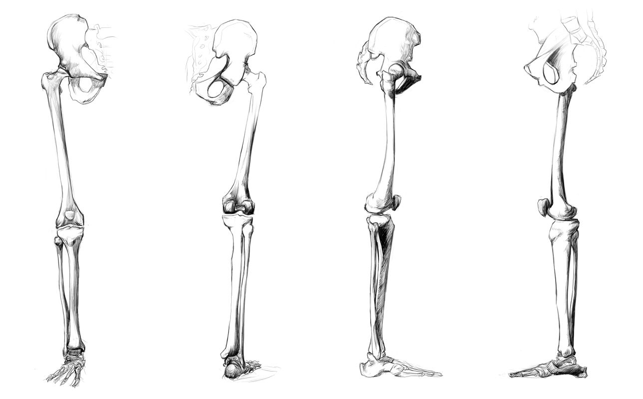 Anatomy Study - leg bones by ~Call0ps on deviantART | art ...
