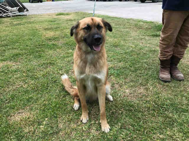 Anatolian Shepherd Dog For Adoption In Rosenberg Tx Adn 551112 On Puppyfinder Com Gender Male Age Adult Dog Adoption Anatolian Shepherd Dog Dogs