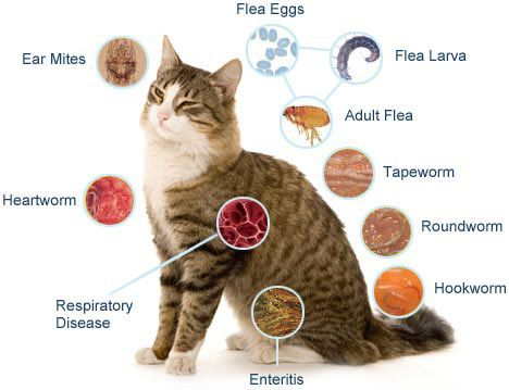 Worming For Cats Will Protect Your Kitten From Hookworm Roundworms Cat Diseases Cat Fleas Cat Worms