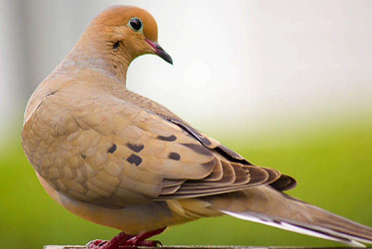 Burung merpati save pinterest the mourning dove a migratory bird buycottarizona