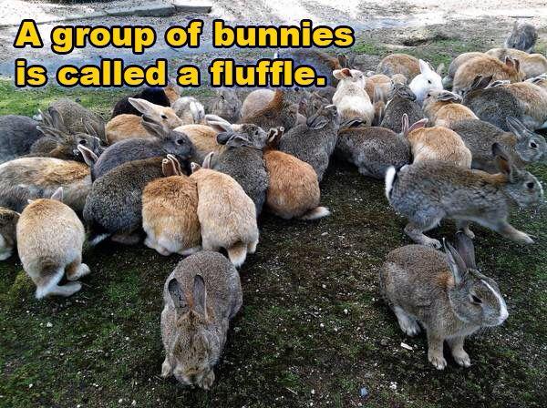Fluffle of rabbits