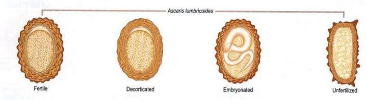 Ascaris morfológia férgek csecsemőben