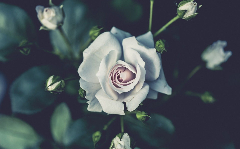 White Rose Wallpaper Rose Flower Wallpaper Beautiful Flowers Wallpapers Rose Images