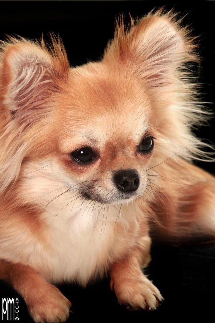 Long Haired Chihuahua Chihuahua Dogs Chihuahua Puppies Chihuahua