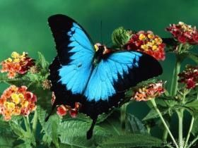 The most beautiful butterfly I have ever seen in the rain forest of Australia