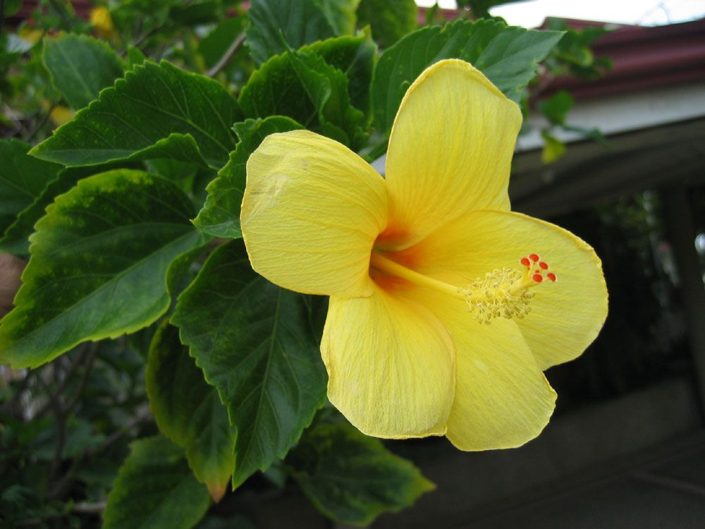 Yellow hibiscus called gumamela in the philippines for Philippine garden plants