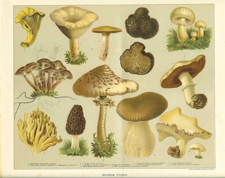 Antique 1900 Edible Fungi Print Chantarelle and Morel Mushrooms ...