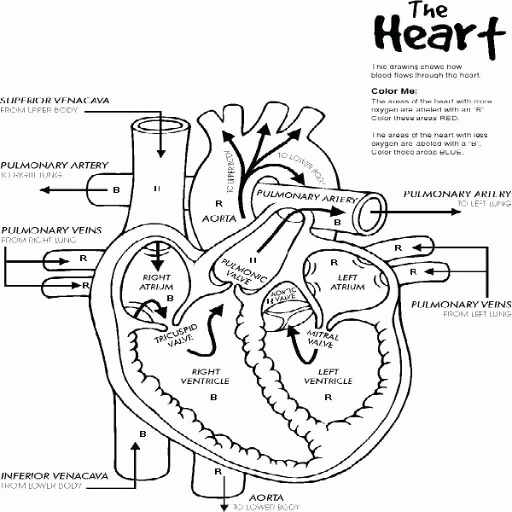 Anatomy Muscles Coloring Pages Free Heart Diagram Nurse