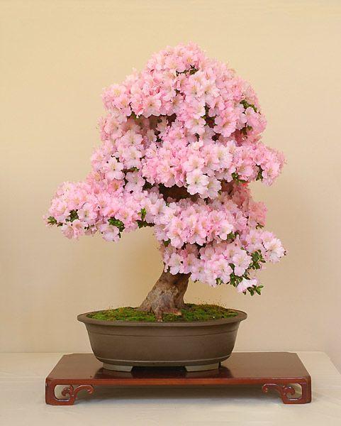 Bonsai Gallery Of Walter Pall Bonsai Tree Care Flowering Bonsai Tree Bonsai Seeds
