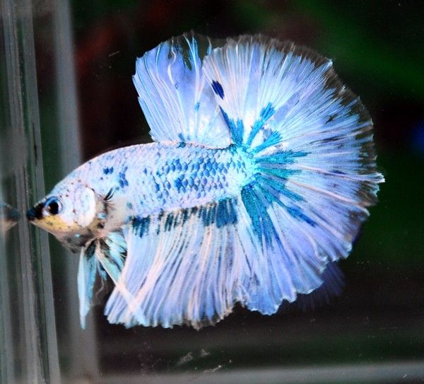 Really interesting marble halfmoon betta beauties for Pretty betta fish