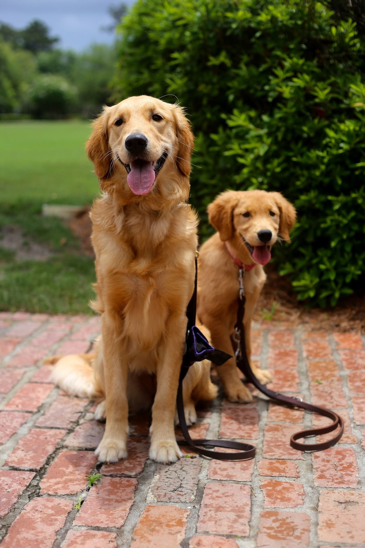 Cute Guide Dogs In Training 3 Chien Chat Chien Chat
