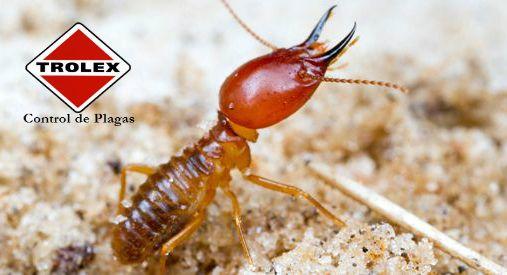Los cebos de termitas ¿Cómo funcionan?  Probablemente ninguna plaga estructural provoca más problemas que las termitas, y es que la mayoría de los propietarios tienen poco conocimiento de los hábitos estos insectos molestos, y lo que se necesita para eliminarlos.