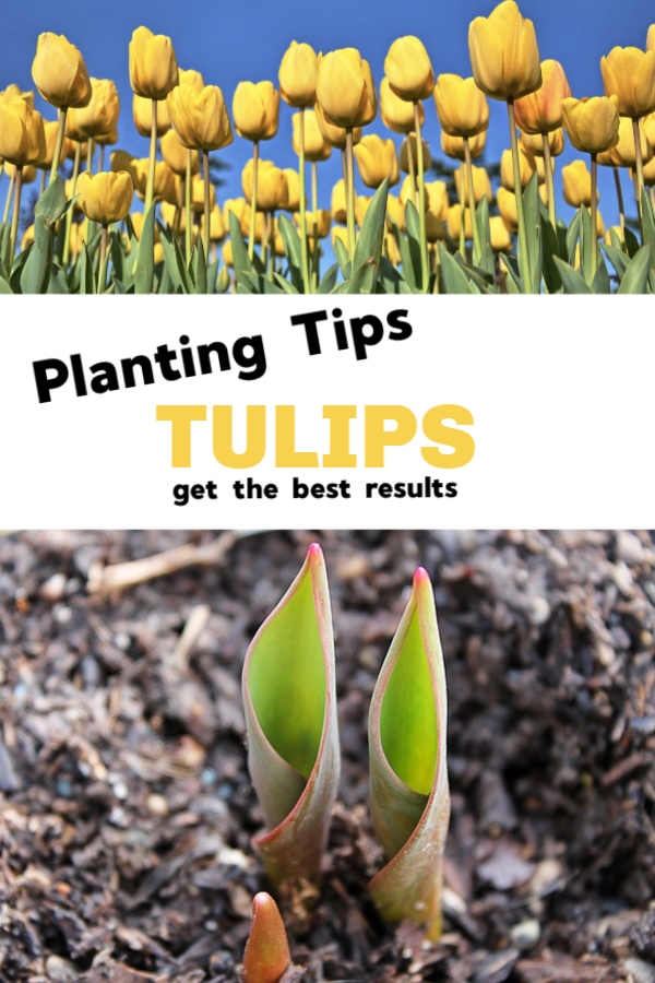 Planting Tulips For Best Results Planting Tulips Tulips Garden Growing Tulips