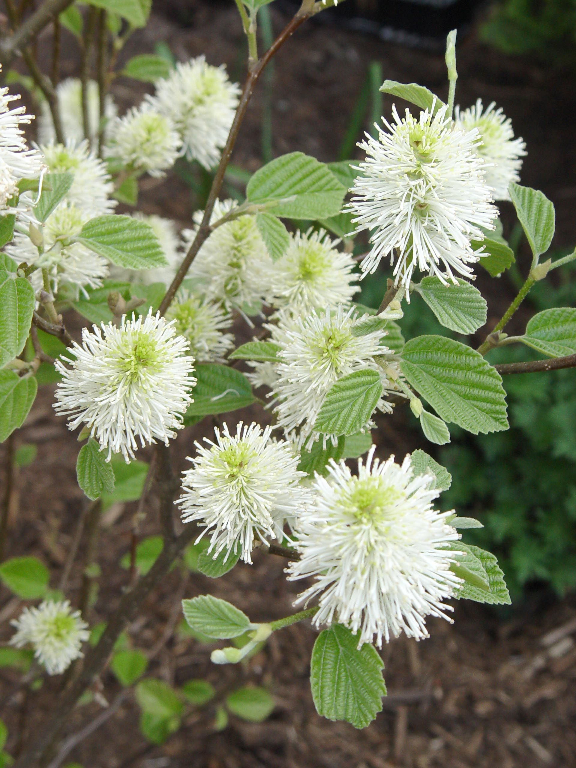 Fothergilla Mt Airy And Gardenii Native Fragrant Spring Flowers