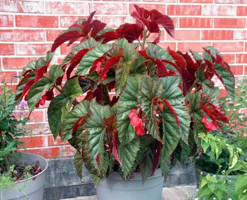 Angel Wings Begonia The Leaves Actually Sprout In Pairs In The