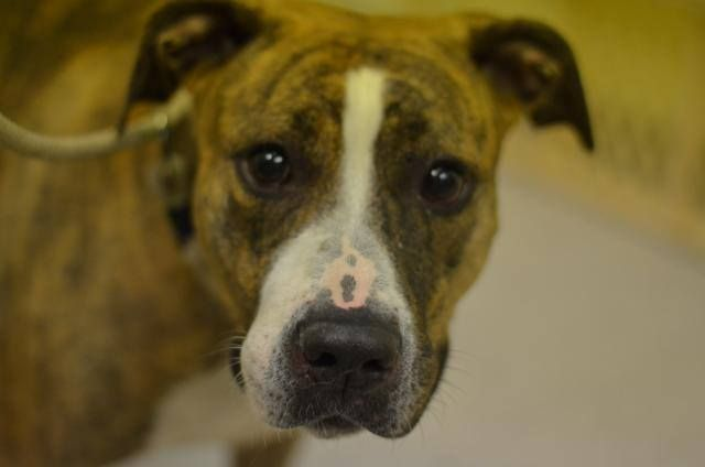 GONE --- Manhattan Center   HAZEL - A1012203  I am an unaltered female, brown brindle and white Pit Bull Terrier mix.  The shelter staff think I am about 4 years old.  I was found in NY 10029.  I have been at the shelter since Aug 28, 2014.  https://www.facebook.com/Urgentdeathrowdogs/photos/pb.152876678058553.-2207520000.1409436915./861966047149609/?type=3&theater