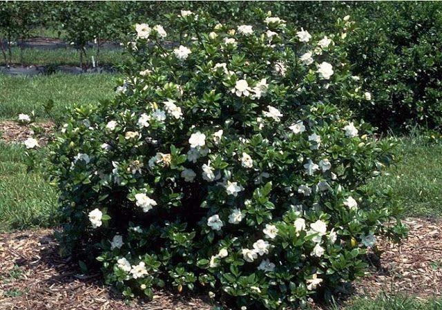 Cape Jasmine Evergreen Shrub Woody Plant Of The Day Evergreen