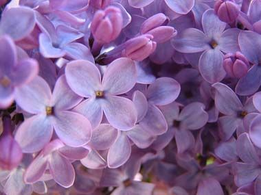 We Ll Definitely Need Lilac Bushes Around Our New Home It S A Family Tradition Simple Syrup Simple Syrup Recipes Lilac