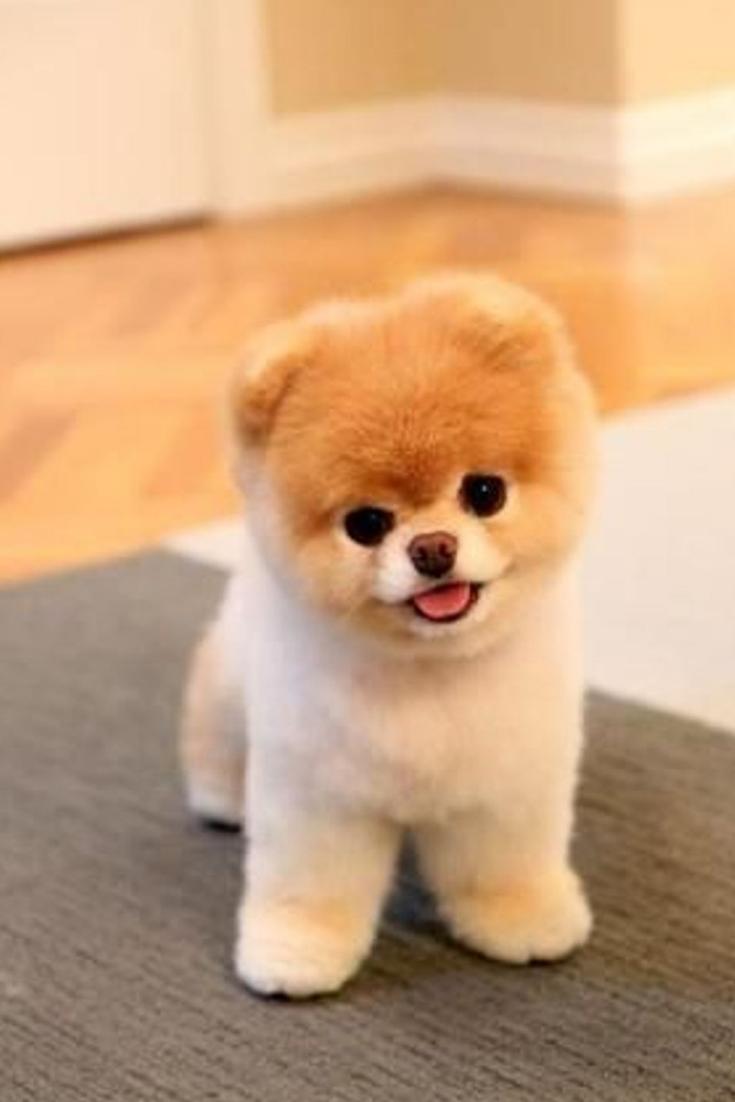 Mini chien – Chien miniature Boo | Photo de chiot, Chien boo, Chien mignon