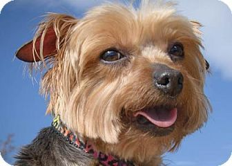 Yorkie Yorkshire Terrier Dog For Adoption In Colorado Springs Colorado Cassie Dog Adoption Dog Grooming Salons Yorkshire Terrier