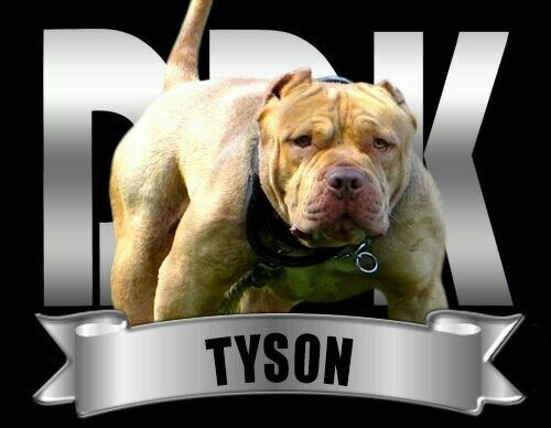 Ddk9 S Iron Mike Tyson Pitbull Terrier Dogs And Puppies