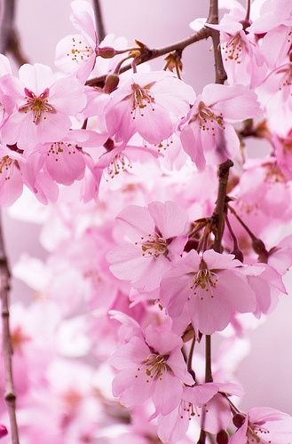 Sakura Flowers Beautiful Flowers Pretty Flowers