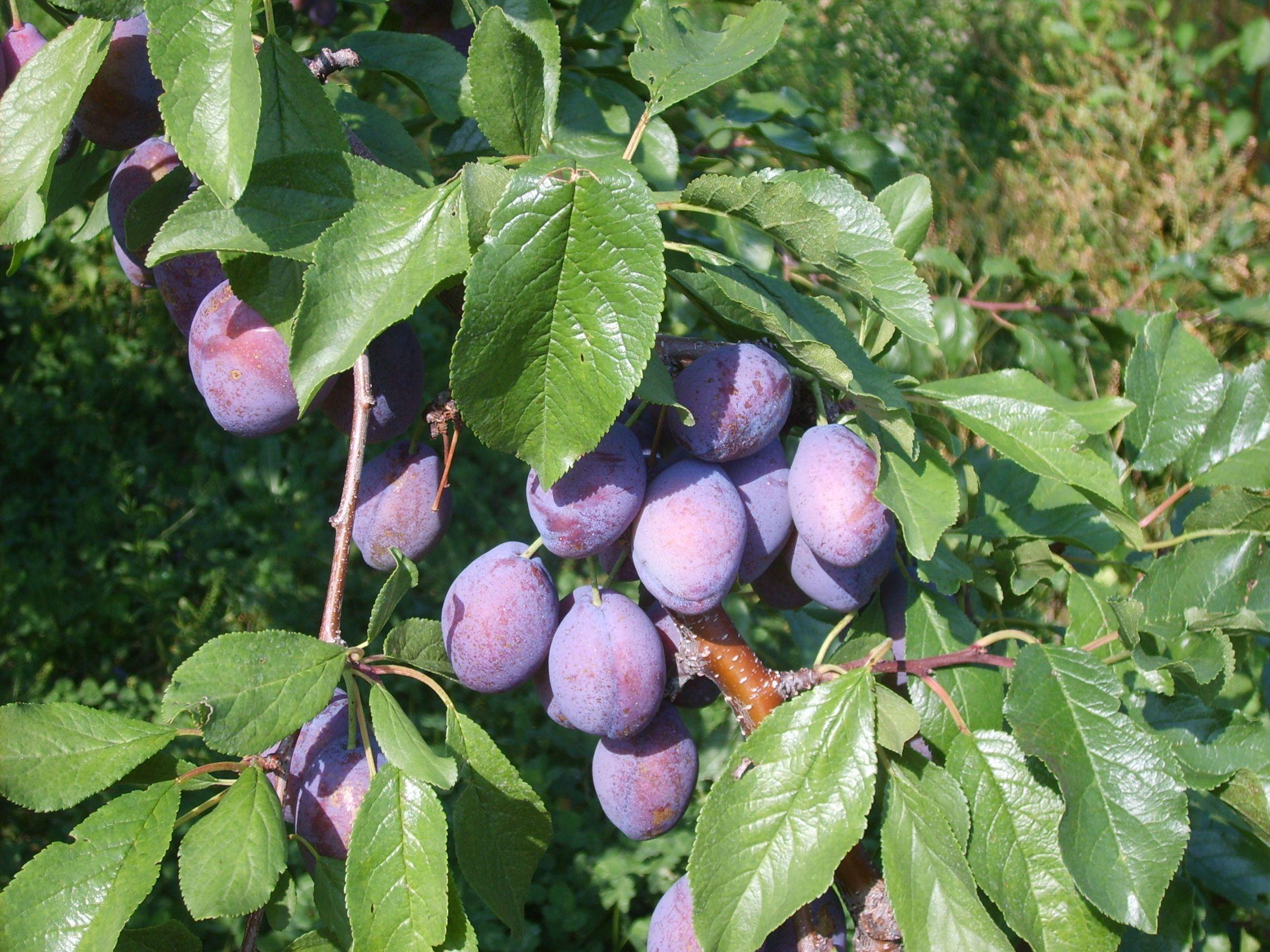 Stanley Plum tree | Prune plum, Plum fruit, Fruit