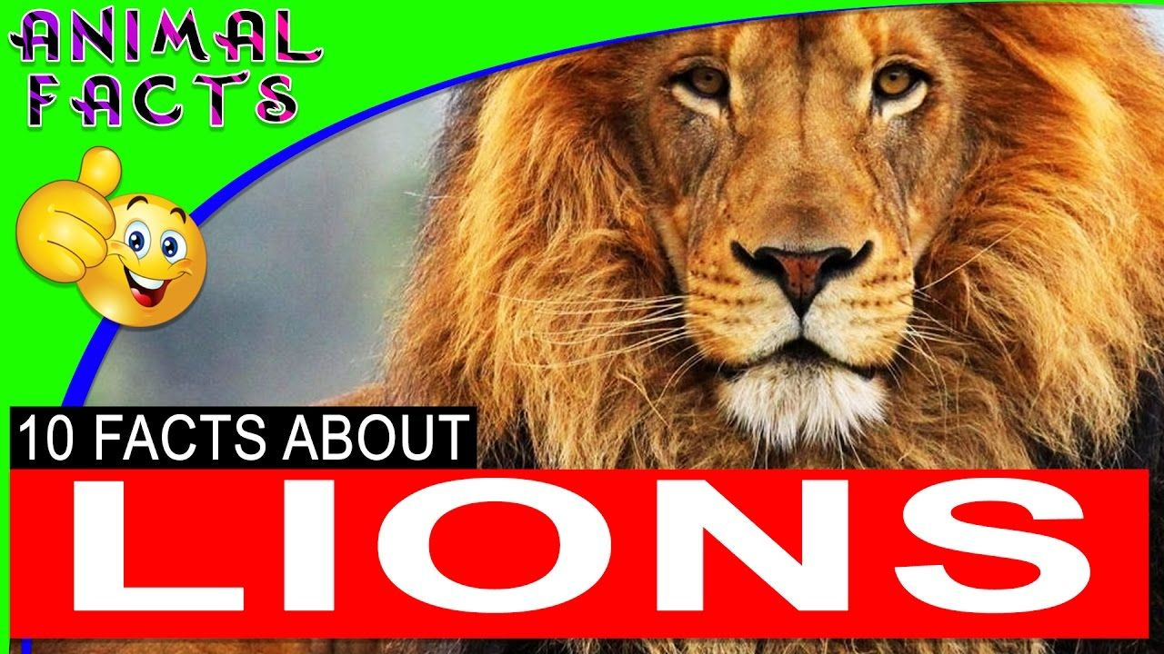 Lions 101 Fun Lion Facts and Information for Kids Children