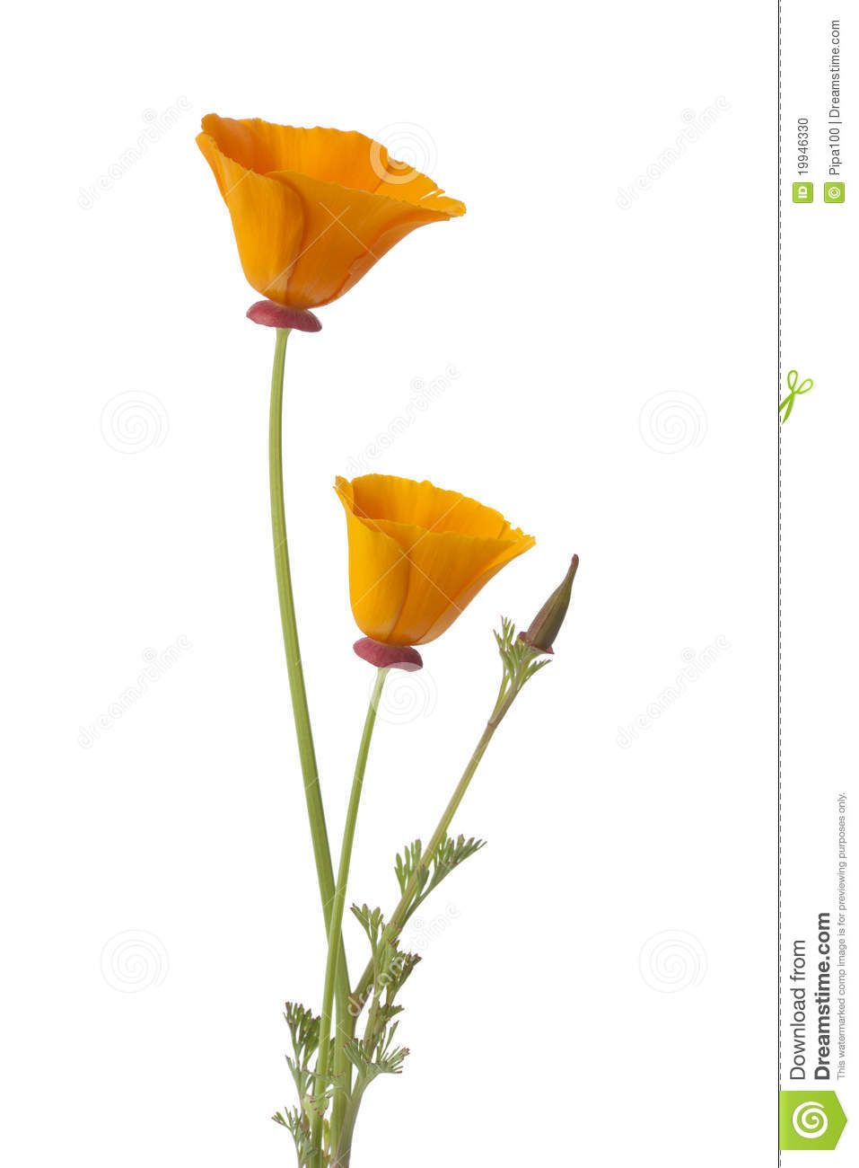 hight resolution of california poppy clipart google search